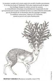 Muntjac-variable-scaled