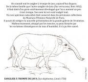 Sanglier-a-trompe-de-Java-scaled